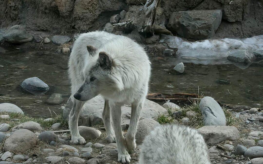 Os lobos em Yellowstone e a Mobilidade Sustentável